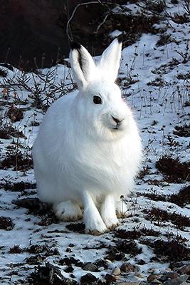 1_arctic_hare