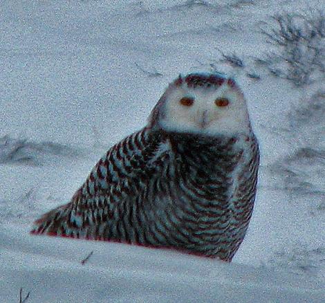 1_snowy_owl