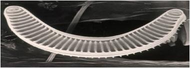 Diatoms6