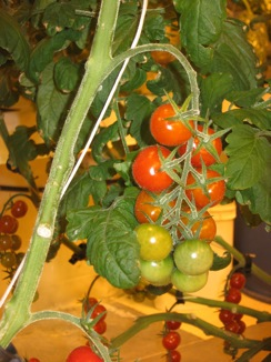 greenhouse-cherry tomatoes