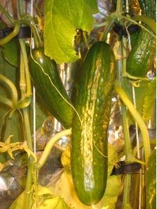 greenhouse-cucumbers