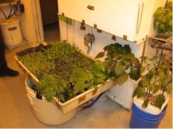 greenhouse-larger seedlings