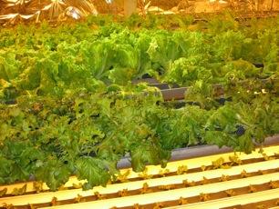 greenhouse-lettuce