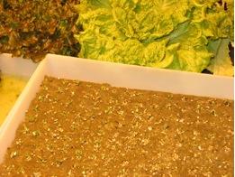 greenhouse-seedlings2