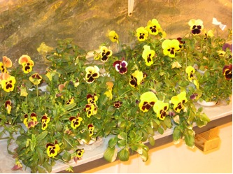 greenhouse-tray of pansies
