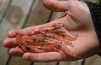krill.06-02-13