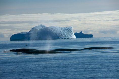 Minke whales Antarctic Coast