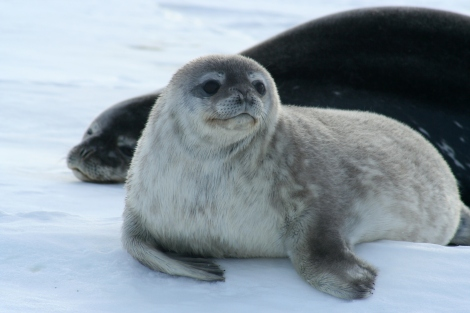 Seal pup and mom