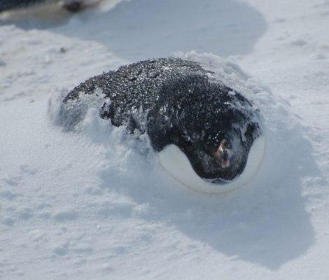 storm_penguin